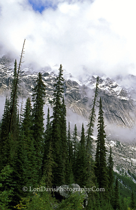 Spiked Evergreens, Jasper National Park, Canadian Rockies  #L50