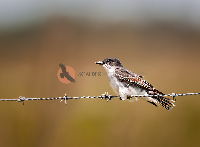 Eastern Kingbird perched on barbed wire fence