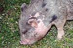 Miniature pot-belly pig facing left, close-up face and shoulders