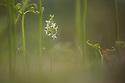 Lesser Butterfly Orchid (Platanthera bifolia) growing through bracken. Dartmoor Natioanl Park, Devon. June.