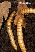1C33-541z Darkling Beetle or Mealworm Larva eating decomposing leaves, Tenebrio molitor