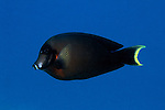 Moorea, French Polynesia; Mimic Surgeonfish (Acanthurus pyroferus), usually solitary, found in lagoon and seaward reefs in 4-60 meters, in the Pacific Ocean region, Indonesia, Philippines, Micronesia to French Polynesia. S.W. Japan to Great Barrier Reef and New Caledonia, to 25 cm , Copyright © Matthew Meier, matthewmeierphoto.com All Rights Reserved