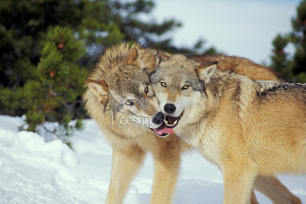 Gray wolf or timber wolf (Canis lupus) greeting.