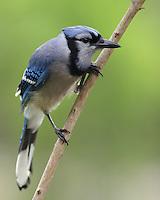 A passerine bird in the family Corvidae, native to North America.