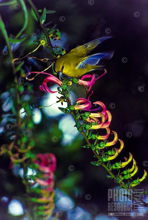 Native Amakihi forest bird drinking nectar form native Kolii plant  Latin; trematolobelia)