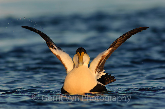 Adult male Common Eider (Somateria mollissima) of the eastern subspecies S. m. dresseri wing stretching. Gloucester, Massachusettes. March.