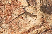 Tyrrhenische Mauereidechse, Weibchen, Thyrrhenische Mauereidechse, Podarcis tiliguerta, Lacerta tiliguerta, Tyrrhenian Wall Lizard, Thyrrhenian wall lizard, Tyrrhenean wall lizard, female, Korsika, Corsica
