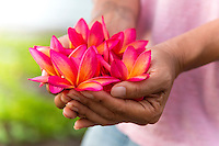 A woman's hands full of plumeria flowers on O'ahu.