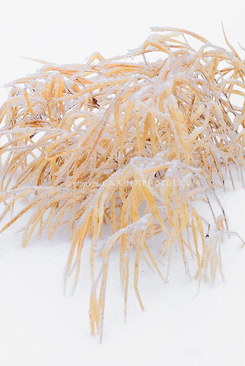 Hakonechloa macra Aureola in winter snow and ice, Japanese Hakon grass