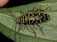 1C38-501z Locust Borer Beetle, Megacyllene robiniae