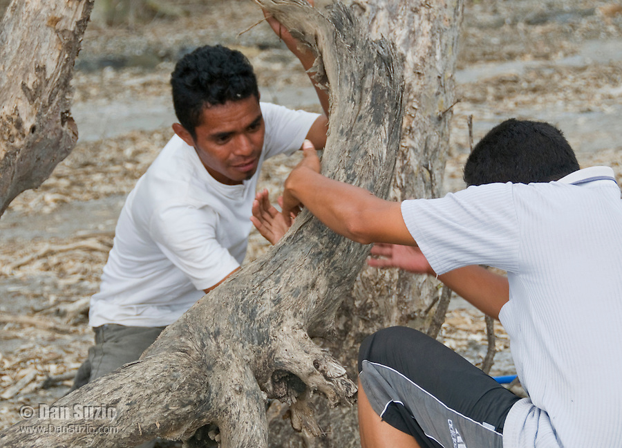 Timorese students Zito Afranio and Benny Carvalho search for lizards in the Liquica district of Timor-Leste (East Timor). They are participating in an ongoing survey of Timorese reptiles and amphibians.