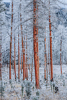 Bare Montana larch, aka tamarack trees, during a hoar frost creating a beautiful and eerie mountain landscape. Newly started evergreen trees sit at their feet. The bright red color of the larch trees standing in sharp contrast to the winter white.