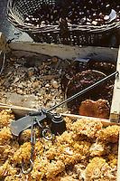 Europe/France/Midi-Pyrénées/46/Lot/Vallée du Lot/Cahors: Pesée des chataignes et champignons sur le marché