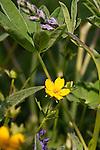 Widlflowers, Hurricane Ridge area, Olympic National Park, Olympic Penninsula, Washington.  Outdoor Adventure. Olympic Peninsula