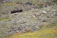 Muskoxen, Atigun Canyon, Brooks Range, Alaska