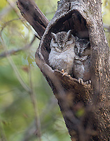 All of the Collared scops owls I saw were hiding (and sleeping) in hollowed-out tree trunks.
