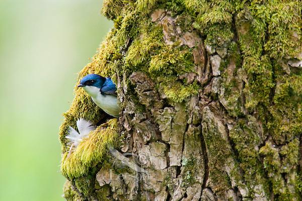 Tree swallow (Tachycineta bicolor) nest.  Pacific Northwest.  May.