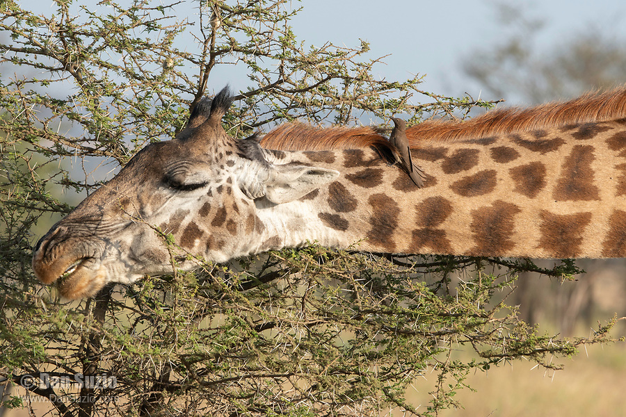 Masai Giraffe, Giraffa camelopardalis tippelskirchii, browsing in Serengeti National Park, Tanzania. Perched on its neck is a Red-billed Oxpecker, Buphagus erythrorhynchus.