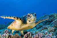 hawksbill sea turtle, Eretmochelys imbricata, French Polynesia, Pacific Ocean
