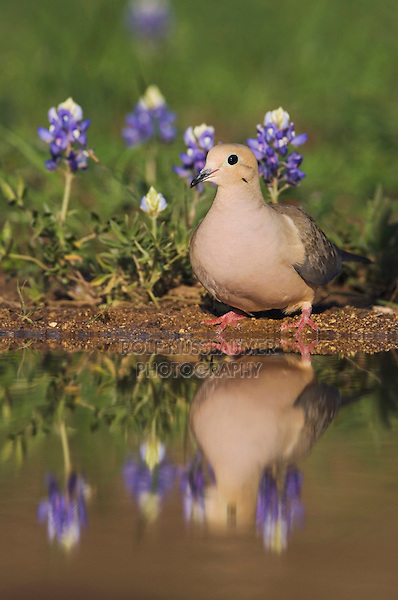Mourning Dove, Zenaida macroura, adult drinking next to Texas Bluebonnet (Lupinus texensis) , Uvalde County, Hill Country, Texas, USA