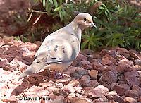 0611-1110  Mourning Dove in Arizona Desert (Sonoran Desert), Zenaida macroura  © David Kuhn/Dwight Kuhn Photography
