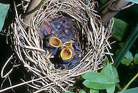 Teichrohrsänger, bettelnde, sperrende Küken im Nest, Teich-Rohrsänger, Rohrsänger, Acrocephalus scirpaceus, reed warbler