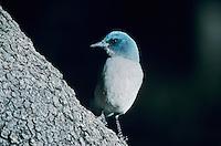 Mexican Jay, Aphelocoma ultramarina, adult, Madera Canyon, Arizona, USA, January 1996