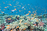 Rainbow Reef, Somosomo Strait, Fiji; an aggregation of Scalefin Anthias and Bicolor Chromis fish swimming over the hard coral reef