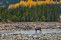 Young bull Woodland Caribou or forest-dwelling caribou (Rangifer tarandus caribou) wading mountain stream.  British Columbia.  Fall.