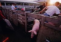 At the Nobles County, Minnesota fair, 4-H'ers herd animals in and out of wash pens preparing for the swine competition. Preparating for the judging is mroe nerve-wracking for the animals and the exhibitors than the actual competition.