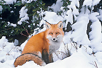 Red fox (Vulpes vulpes), winter, boreal forest, fresh snow.