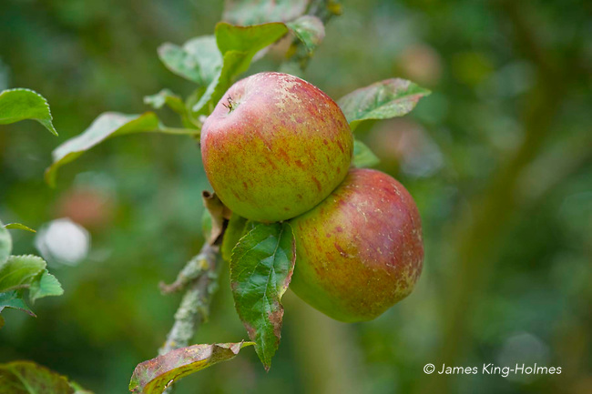 May Queen apples. An old English variety of eating apple.