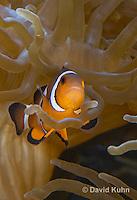 0321-1121  False Percula Clownfish (Ocellaris Clownfish), Amphiprion ocellaris, with Bulb-tipped Anemone, Entacmaea quadricolor  © David Kuhn/Dwight Kuhn Photography