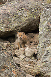 Coyote pups playing at their den in Yellowstone National Park.