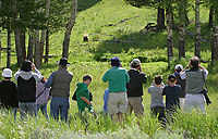 A crowd of tourists watches a cinnamon black bear in Yellowstone.