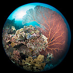 Russell Islands, Solomon Islands; a circular view of a massive red gorgonian sea fan growing out of a colorful coral bommie with the sun overhead