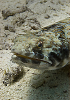 24 August 2004: A Lizardfish (Synodus intermedius) or Sand Diver, lies motionless on a coral sea bed at Captain Don's Reef on the Dutch Island of Bonaire. Bonaire, known for its pioneering role in the preservation of the marine environment and is part of the Netherlands Antilles group of islands.  Located in the southern Caribbean, off the coast of Venezuela, Bonaire is renowned for its excellent scuba diving, snorkeling, and windsurfing. ..Mandatory Photo Credit: Ed Wolfstein Photo