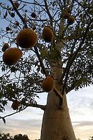 Baobab Tree in Fruit in the Kimberley, Western Australia