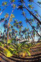 Wide angle view of a grove of towering palms at Kapuaiwa  on the island of Molokai.