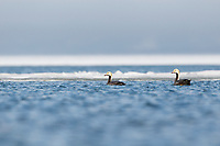 Emperor Goose (Chen canagica) swimming in a partially frozen coastal lagoon on the nesting grounds. Chukotka, Russia. June.