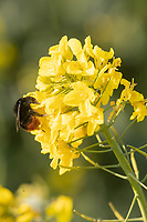 19-4-2021 Bees on flowering oilseed rape <br /> ©Tim Scrivener Photographer 07850 303986<br />      ....Covering Agriculture In The UK....