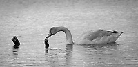 Trumpeter Swan family @ Anchorage's Potter Marsh