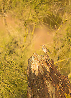 Sage Thrasher, Oreoscoptes montanus, in the Phoenix Mountains Preserve near Phoenix, Arizona
