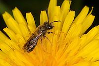 Sandbiene, Sand-Biene, Andrena spec., Männchen beim Blütenbesuch auf Löwenzahn, Nektarsuche, Blütenbestäubung, Sandbienen, mining bees, burrowing bees, mining bee, burrowing bee