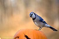 1J02-003z  Blue Jay - on Jack-o-lantern - Cyanocitta cristata