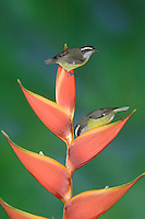 Bananaquit, Coereba flaveola, adults on Heliconia Flower, Central Valley, Costa Rica, Central America, December 2006