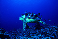 Hawaiian Green sea turtle with reef fish eating off its back