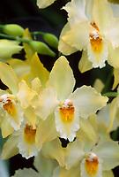 Oncidium Golden Rialto aka Odontioda Golden Rialto, orchid hybrid of Pacific Gold x Rialto, 1985