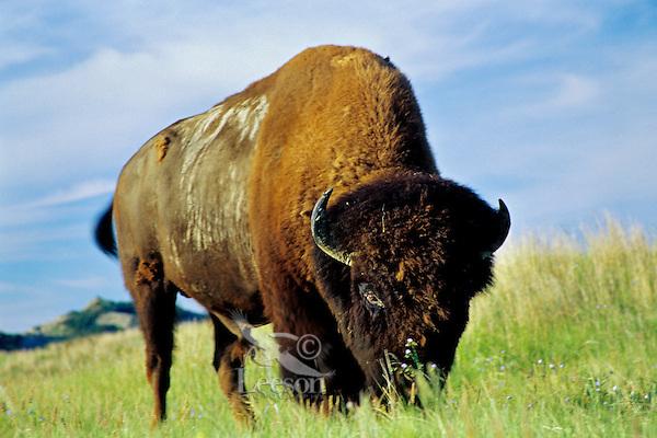 Bison bull grazing on prairie grass, Great Plains, Summer.