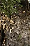 Israel, Jerusalem Mountains, Kermes Oak (Quercus Caliprinos) on Mount Tzuba